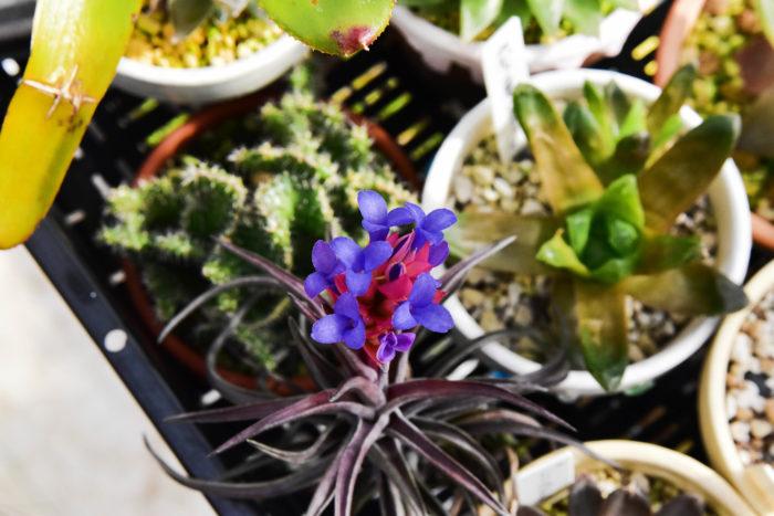 強い日光に当てると驚くほど赤く発色するネグレクタの選抜品種、ルブラです。ネグレクタ特有のインディゴブルーの花びらと真っ赤な葉のコントラストが非常に美しく、カッコいいエアプランツです。 性質も強健なので初心者の方にもおすすめです。