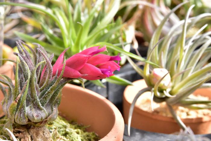 カウツキーと同じくブラジル原産のエアプランツです。草姿は紡錘型でカウツキーに似ていますがスプレンゲリアナの方が葉が柔らかく、またトリコームが粗く大きいです。 チェリーピンクの花苞から真っ赤な花を咲かせる美花種で、人気が非常に高いです。また地域変異や実生による個体差がかなりあります。以前はCITESに登録されていましたが、現在は外されています。