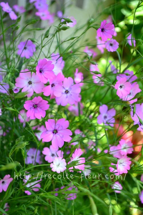 ビスカリアはナデシコ科の1年草の草花。ピンク、白、紫系など数品種があります。茎が細くてか弱そうに見えますが、性質はとても丈夫。風に揺れながら咲く姿がとても美しい草花です。