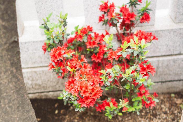 この染井のツツジブームにあやかろうと、「江戸キリシマ」と呼ばれるキリシマツツジの栽培を大々的に始めたのが、大久保百人町(東京都新宿区)に住まう下級武士たちでした。