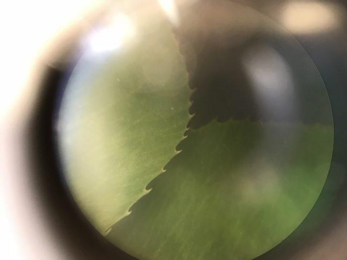 葉は3枚に分かれた葉が一組になっています。  葉の周りには、ユニークな形をしたトゲトゲが飛び出ていて、肉眼でルーペを覗くとルビー色の褐色をしています。  ぜひ、観察してみて下さいね。