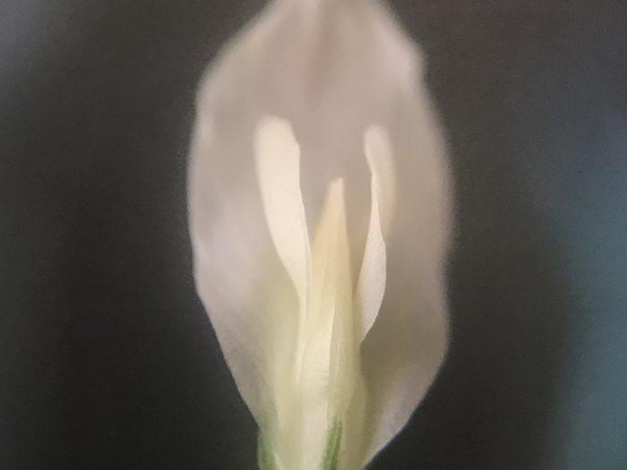 花の中央はなんだか天使が天に向かって羽を広げているみたいな形をしています。  かわいいですね。  この真ん中にある花びらを開くと蜜がいっぱい詰まっていてミツバチ達はシロツメクサが大好きです。