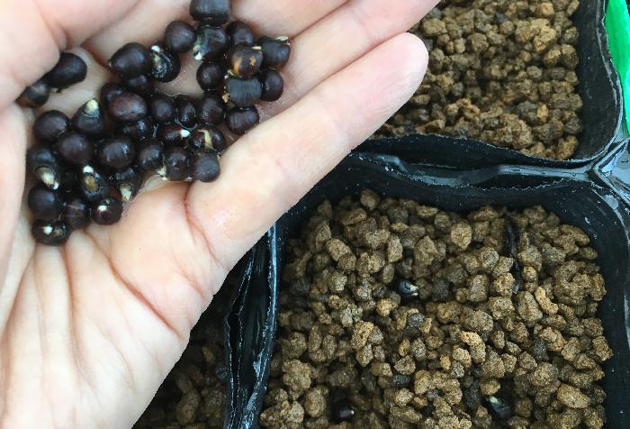 育苗ポットに点まき  1日水につけたおかげで、オクラの種が少し発芽しているのが分かりますね。  まき方は点まきで一か所に3~6粒程まきます。