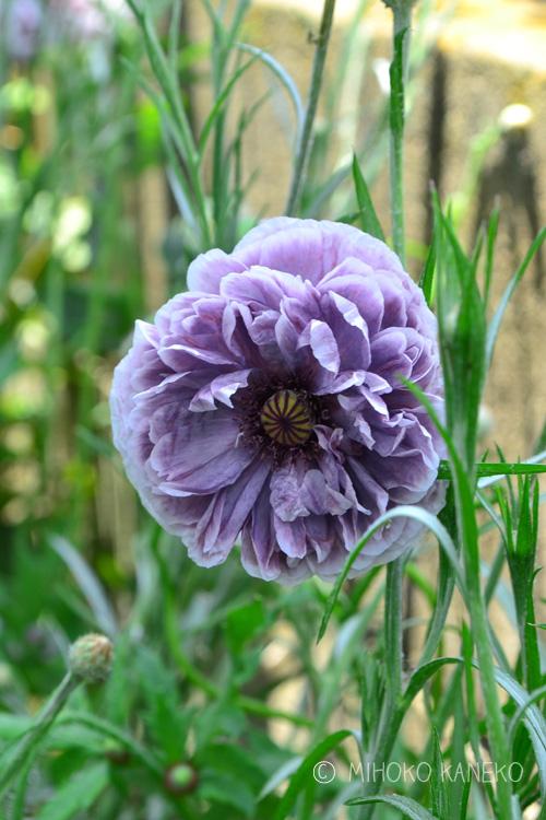 シックな紫色のシャーレーポピー