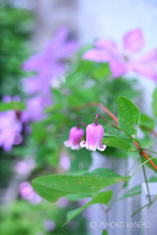 クレマチスは品種によって花の開花時期がまったく違います。6月の初夏に咲くのは、ヴィオルナ系、テキセンシス系をはじめとした中輪~小輪のクレマチスの開花時期です。写真はヴィオルナ系のクレマチス。壺型とかベル咲きと呼ばれるクレマチスです。