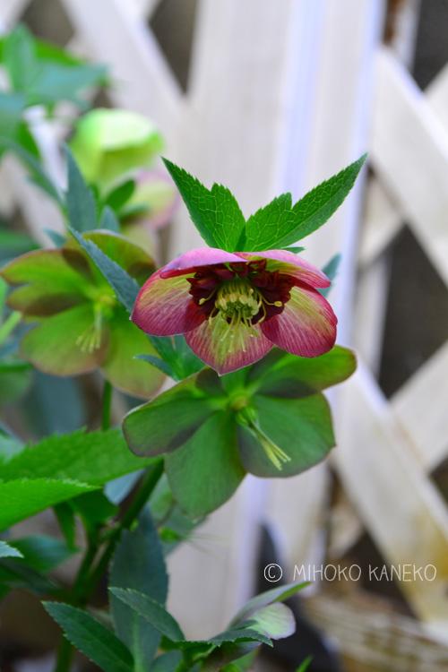 クリスマスローズは、花弁だけになった状態をそのままにしておくと、中央が膨らんでタネができます。タネを採りたいなら、そのままにしておきますが、タネをつけすぎると株は弱るので、タネ採り用の花茎以外は、雄しべが落ちたら早めに剪定します。生けるのに使うのは、この雄しべが落ちた状態のものを使うと、とても長持ちする切り花になります。
