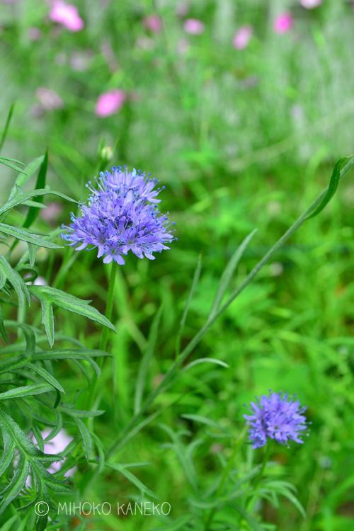 ギリアは、ハナシノブ科の1年草。品種によって、花の形や花丈などが若干違いますが、初夏に開花する草花です。ギリアのどの品種も花丈は40~50センチくらいにはなるので、切り花としても利用できます。最近は切り花での流通もあります。