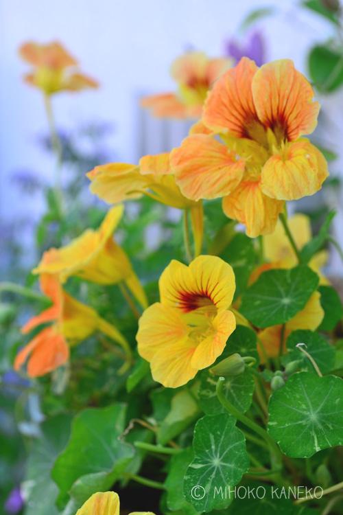 ナスタチウムは、ノウゼンハレン科の一年草のハーブ。丸い葉っぱはサラダに、花もエディブルフラワーとして利用されています。ガーデニングの素材として使うなら、横に広がるように生長するので寄せ植えやハンギングバスケットに植えても見栄えがします。