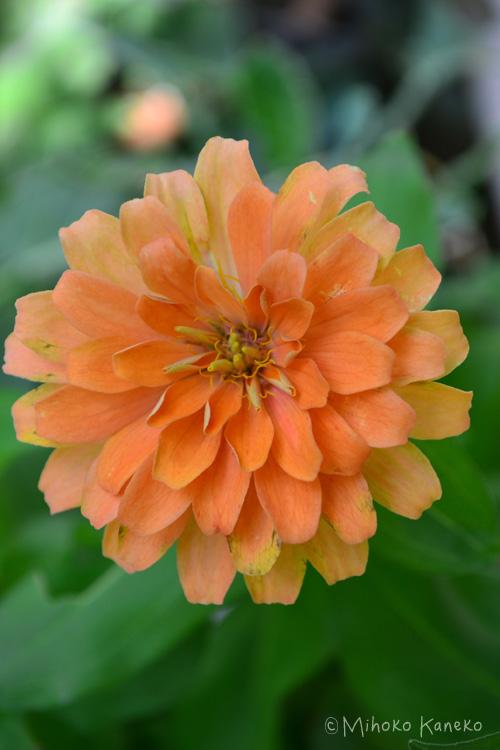 矮性から高性まで種類が豊富なジニア。ジニアの和名は「百日草」。百日間、咲き続けるということからですが、実際は5月~11月まで開花するので、百日どころではない長く咲く草花です。最近、新品種が次々と出てきて、色合いのバリエーションもとても豊富になりました。