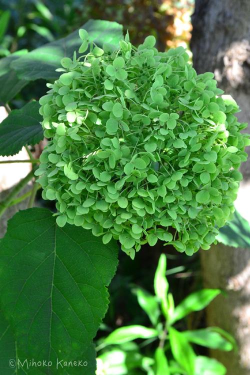 アナベルはユキノシタ科の落葉低木。6月頃に白い花が開花し、秋にかけて花色が秋色グリーンへと変化していく過程も素敵です。