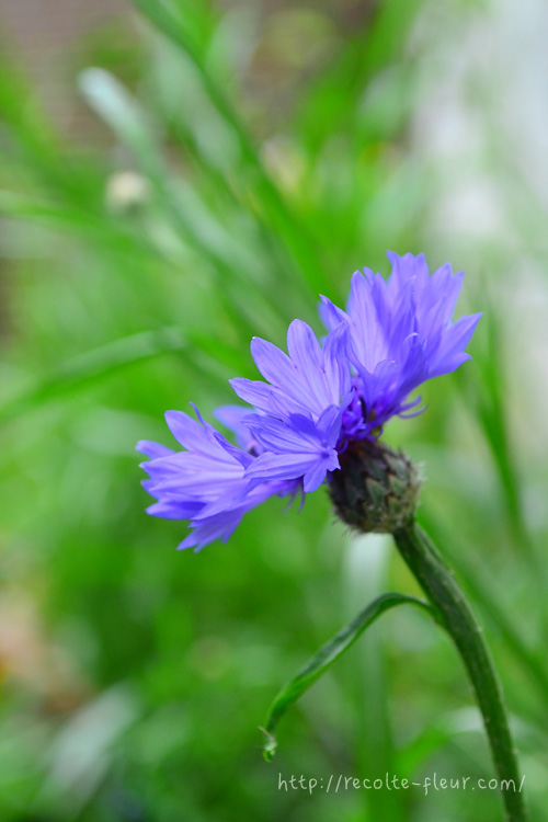 ヤグルマギクは、正面から見ると平面的な花ですが、横顔も素敵なのです。