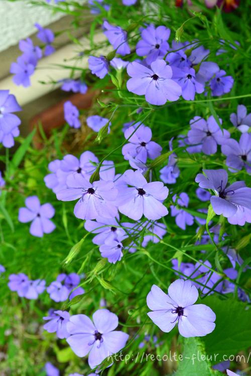 ビスカリアはナデシコ科の一年草。毎年、何かしらの品種を種まきする草花のひとつです。茎が細くて風にそよそよと揺れるように咲くか弱そうな花ですが、性質は丈夫。切り花でも楽しめる草花です。