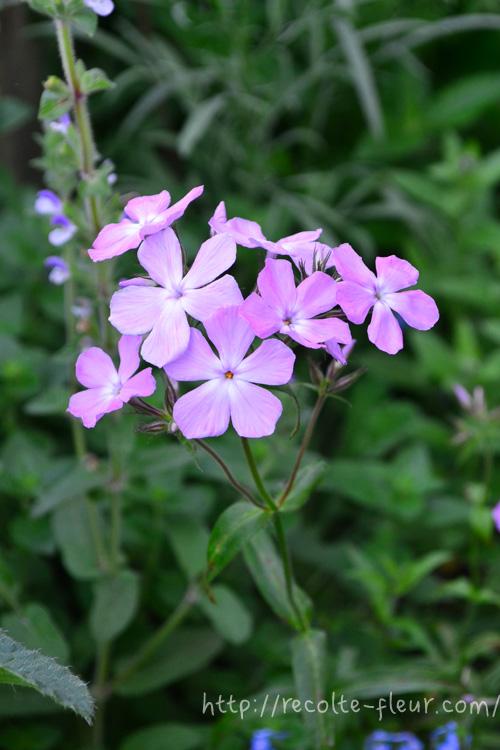 宿根草のフロックス・ピロサ。昔からある品種ですが、ガーデナーには人気の品種です。