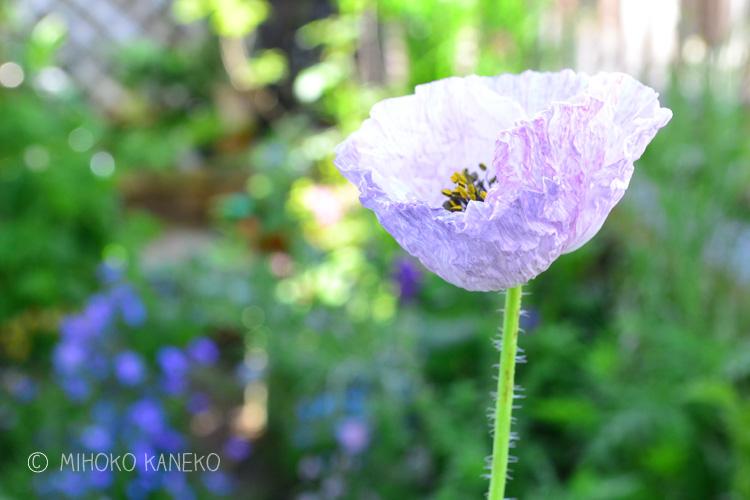 何色と表現できない色あい。ミックスの種は、咲いてみないと何色になるかわからないワクワクがありますね。