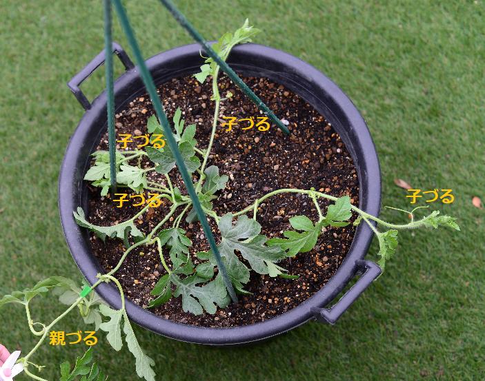 摘芯して子蔓が伸びてきたら、生育の良い蔓を3~4本残し、他の子蔓は摘み取ります。