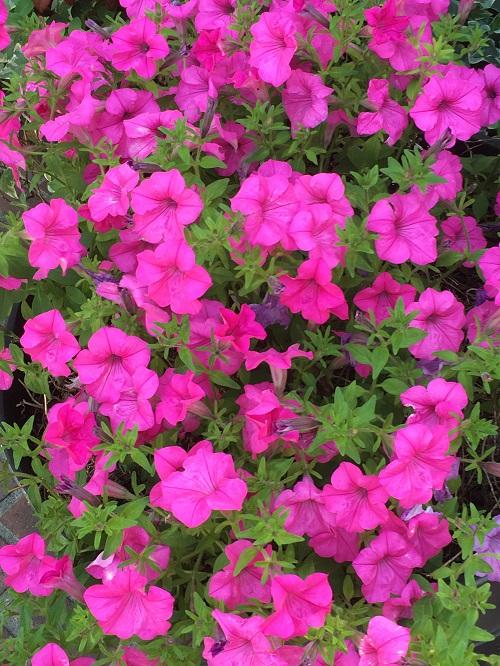 サフィニア、ペチュニア、カリブラコアは、夏の1年草の中でも品種がとても豊富。夏のガーデニングの定番的存在です。咲き方、色あいが豊富なのでイメージにあわせた色を選ぶことができるのが魅力です。