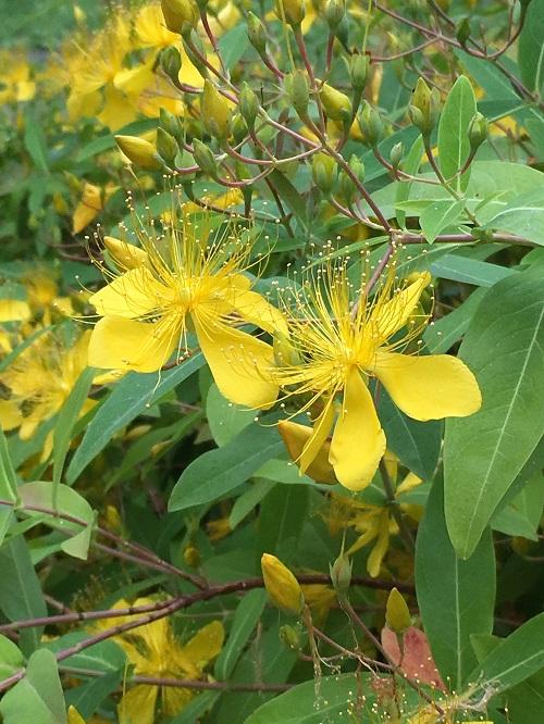こちらはビヨウヤナギ。遠くから見ると、ビヨウヤナギかキンシバイか、どちらかがわかりにく見た目が似た花木です。ビヨウヤナギも6月に開花する花木です。ビヨウヤナギの花の大きな特徴は、長めの雄しべが上を向いている事です。