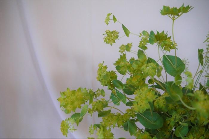 学名:Bupleurum rotundifolium  科名:セリ科  分類:一年草  丸い葉っぱと長い茎、その先端にはちらちらと星のような花を咲かせます。花の部分は中心に近づくに連れて黄色味を帯びてきます。少しくすんだような白味を帯びたグリーンの葉も美しく、華奢な印象を与えます。花束やアレンジメントに入れると、明るさを出してくれるだけじゃなく、柔らかく動きのある風を感じるような印象にしてくれます。
