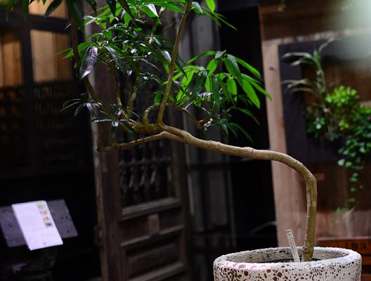 シェフレラ アンガスティフォリア  葉先が丸いシェフレラと違い、葉先がシャープなシェフレラ アンガスティフォリア。個性的な樹形のセレクトはTRANSHIPならでは。植物男子のお部屋に似合いそうな観葉植物ですね。