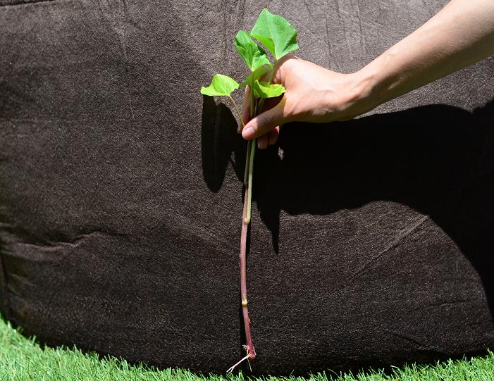 真っすぐに苗を植え付ける垂直植えは、丸い形のさつまいもが育ちます。