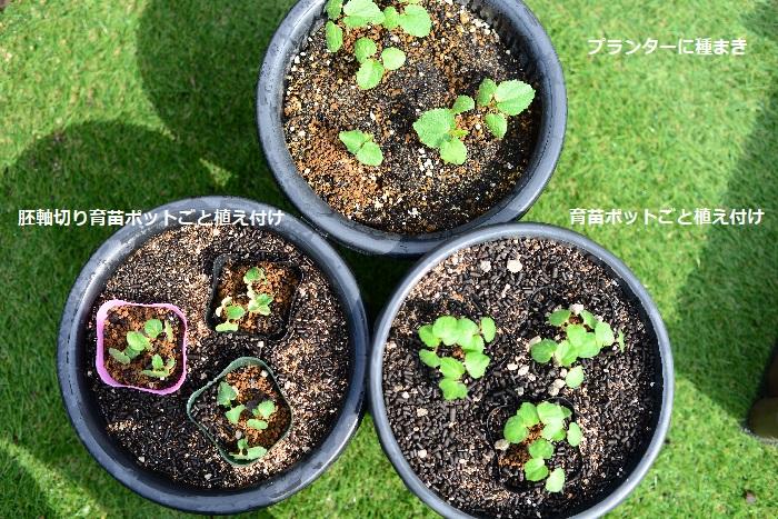 育苗ポットで作ったオクラの苗を植え付けていきます。  今回は「プランターに種をまき」「育苗ポットごと植え付け」「胚軸切り(断根)育苗ポットごと植え付け」この3つのタイプのオクラを育てていきます。