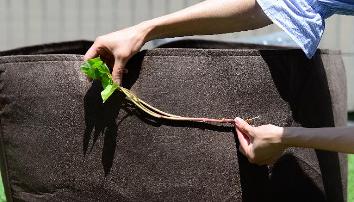 土に埋まっている部分を増やすことで、さらに多くさつまいもを収穫することができます。