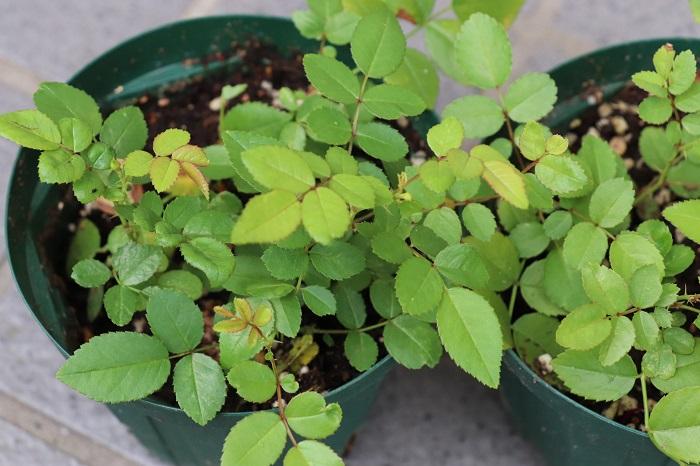 挿し木をしてから1か月半後のミニバラの様子です。新しい葉がたくさん増えていきいきとしています。