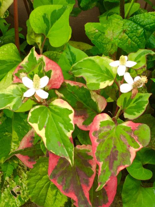 斑入りのドクダミ。カラーリーフとしても利用されています。ドクダミはとにかく丈夫で、植え付ければ勝手に育ちます。日陰~半日陰のグラウンドカバーで、強い草花をお探しの方はいかがでしょう?斑の入り方は季節によって変化し、秋の紅葉も美しい植物です。