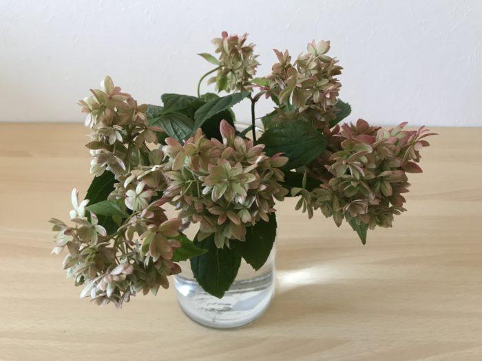 ユキノシタ科アジサイ属の耐寒性落葉低木  山紫陽花は日本の各地で古くから自生している野生種の紫陽花です。まあるく小さめの花房と小ぶりな葉が繊細な印象を与えます。細い枝の先に、たわわな花が咲き満開で膨らむ様子は可愛らしさと華やかさを見せてくれます。  今回はきれいな秋色に変化し始めたヤマアジサイを生けてみました。