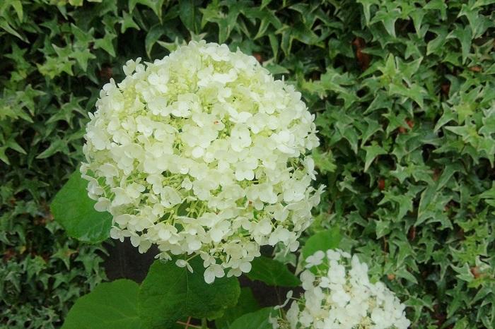 咲き進むにしたがって、段々と丸が大きくなっていきます。それに伴って、花の色も明るいグリーンから白へと変化していきます。そのまま一気に大きく真白でまん丸なアジサイの花が出来あがります。