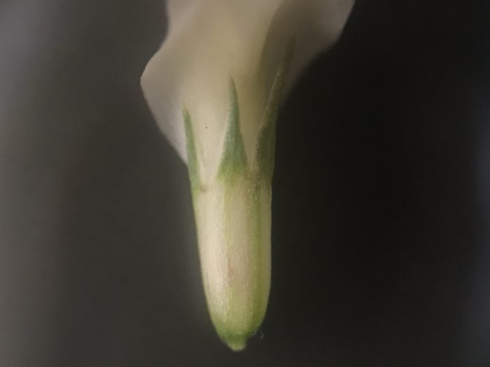 ガクは透明な産毛が起毛しています。光に当たってキラキラする様子に心惹かれます。