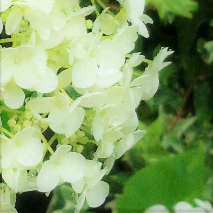 日向から半日陰、明るい日陰までよくお花を咲かせてくれます。日本のアジサイのように剪定時期にも神経質になる必要はありません。お花が終わった後にたっぷりと腐葉土を混ぜ込んでおけば、過度な肥料も必要とせずに毎年きれいに咲きます。 腐葉土以外にも土壌改良剤で土をふかふかにする方法もおすすめです。 切り花にしてもボリュームがあってきれいですし、ドライフラワーになった姿も美しいアナベル。こんなに許容範囲が広くて可愛らしいお花を放っておく手はありませんよ。