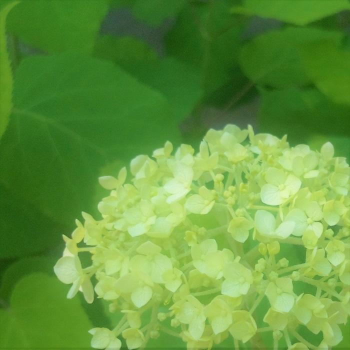 アナベルは、冬のドライフラワーを楽しむつもりがなければ、花後11月くらいまでに剪定しましょう。日本のアジサイと違って翌年の花芽の準備に入るのがゆっくりです。アナベルは新しい枝に花芽を付けます。古い枝を11月くらいまでに剪定しておけば翌年もお花を楽しめます。 冬の間もドライフラワーになった姿を楽しみたい場合は、翌年の春に剪定します。この場合、蕾を見分けられるくらいになってから切った方が安全です。