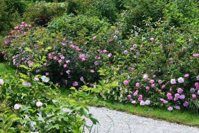 薔薇の庭  2015年にオープンしたエリア「薔薇の庭」は原種やオールドローズをメインとしたローズガーデンです。原種薔薇の素朴で力強い魅力やオールドローズの可憐な花を満喫できる庭で、秋のたわわに実ったローズヒップも必見なんです。