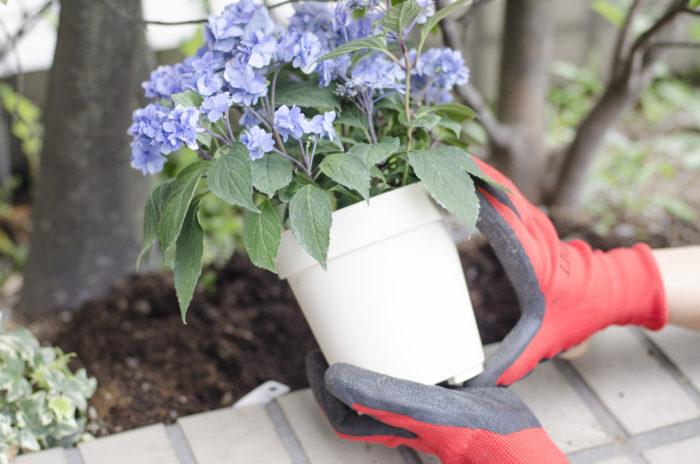 置き場所 耐寒性と耐暑性があり、日向から半日陰で風通しの良い場所を選びましょう。  室内ならば、日当たりの良い暖かい場所。  屋外の場合は直射日光を避けた半日陰が適しています。  水やりと管理 水切れに弱い植物なので水を切らさない様に注意が必要です。  土の表面が乾ききる前に、たっぷりと鉢底から流れて来るまで与えます。  真夏は朝と夕刻に2回の水やりが必要で与えた水が陽ざしで温まると根が傷みますので、陽ざしが強い時間帯を避けて水遣りをする必要があります。  ※水やりをうっかり忘れてしまい、少し花首が萎れてしまった場合はバケツに水張りをしてバケツの水の中に鉢ごと沈めます。鉢底から吸水させるようにすると水揚げします。