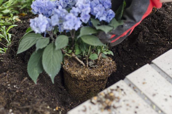 土について 紫陽花は土によって花の色が変化する性質をしていますので、土壌の酸度(ph)の調整によって色が変化します。花の色を調整するには、この酸度のコントロールが必要になってきます。  酸性が多い場合は青色の花に、アルカリ性が多い土ではピンク色に変化します。    <アルカリ性の土ではピンクの花に> 山紫陽花はアルカリ性(石灰)の多い土壌では、花の色がピンク色になります。  ピンク色の紫陽花の色を保ちたい場合は、開花する前の4月~5月頃に(一年に一度だけ)紫陽花の株元に一握りの苦土石灰を巻くと効果的でピンク色の花を保つ事が出来ます。  もともと紫陽花は弱酸性の用土を好む為、アルカリが強すぎると根を傷めてしまいますので加減が必要です。  <酸性の土では青色の花に>  山紫陽花は酸性の多い土壌では青色に変化します。  日本の土壌は火山の影響と雨が多く降り、空気中に含まれる二酸化炭素を吸収した雨が酸性を含む雨の為、庭植や外で管理すると青色に変化しやすくなります。より鮮やかな青色に花色を保ちたい場合は、4月~5月の開花前に、  5oo倍~1000倍に薄めた硫酸アルミニウムを3週間おきくらいに2回程与えるのも効果的です。     https://www.amazon.co.jp/%E7%A1%AB%E9%85%B8%E3%82%A2%E3%83%AB%E3%83%9F%E3%83%8B%E3%82%A6%E3%83%A0-%E3%83%96%E3%83%AB%E3%83%BC%E3%83%9E%E3%83%83%E3%82%AF%E3%82%B9-22kg%E5%85%A5-%E3%80%90%E9%9D%92%E8%89%B2%E3%82%A2%E3%82%B8%E3%82%B5%E3%82%A4%E7%94%A8%E3%80%91-%E3%83%8F%E3%82%A4%E3%83%9D%E3%83%8D%E3%83%83%E3%82%AF%E3%82%B9/dp/B00VLBFY0S    <紫の紫陽花にしたい場合は?>  紫の紫陽花にしたい場合は、つい紫はピンクと青色を混ぜたもの?と思いがちですが、アルカリ性と酸性が程よく混ざった中性の土壌の場合は紫になるわけではなく、ピンクの紫陽花を(アルカリ性)を酸性の土に植え替えると赤みがかった紫色に、青色の紫陽花(酸性)をアルカリ性の土に植え替えると青みがかった紫色に変化します。    <白の紫陽花の場合の土壌の成分は?>  白の場合は、もともと色が変化する性質ではないため、土壌の成分で色が変わる事がありません。  紫陽花が本来好む弱酸性の土壌を準備して植えてあげると綺麗な白色の紫陽花に育ちます。 市販の紫陽花用の土を使うと簡単に準備することが出来ます。    https://www.amazon.co.jp/s/?ie=UTF8&keywords=%E7%B4%AB%E9%99%BD%E8%8A%B1%E3%81%AE%E5%9C%9F&tag=googhydr-22&index=aps&jp-ad-ap=0&hvadid=217477335532&hvpos=1t1&hvnetw=g&hvrand=11653258641555567247&hvpone=&hvptwo=&hvqmt=e&hvdev=c&hvdvcmdl=&hvlocint=&hvlocphy=1028853&hvtargid=kwd-59641981105&ref=pd_sl_9euiwhis9d_e