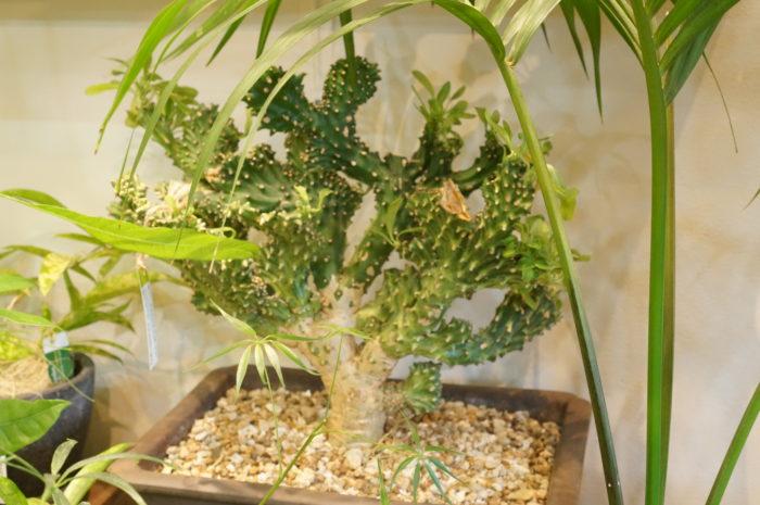 溝向さんに選び抜かれた植物たちを求めに、遠方から訪れる方もいるという。  樹形を選ぶポイントはまさに「直観」。そう言って笑う溝向さんからは、長年培ってきた植物への確かな目線と鋭い勘が感じられます。