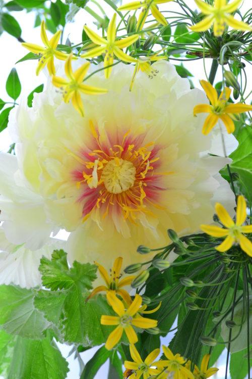 ただいま花屋さんではたくさんの品種のシャクヤクを見ることができます。シャクヤクはこの季節だけ出回る花材なので、お気に入りの品種を見つけに花屋さんに立ち寄ってみてはいかがでしょうか。