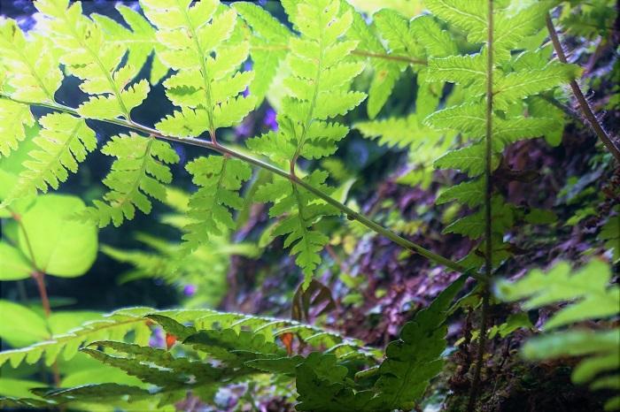 クサソテツ 科名:イワデンタ科  学名:Matteuccia struthiopteris  特徴:別名コゴミです。日本の山野に自生しています。早春の新芽はコゴミと呼ばれる山菜です。抜け感のあるシダ特有の葉を放射状に広げる形が美しく、印象的なオーナメンタルプランツになります。株で増えていくので、群生させれば広範囲にグラウンドカバーとして活躍してくれます。  育て方:湿った場所を好みます。明るい日陰から暗い日陰まで、乾燥させないように注意が必要です。直射日光が長時間当たるような場所では葉焼けを起こします。