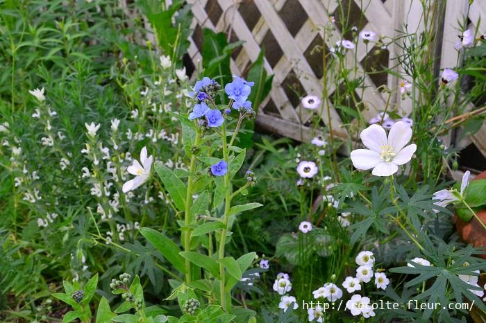 ペインテッドセージは派手な花ではなく、花というより葉っぱ的な雰囲気なので、複数の草花の寄せ植えの彩りにも使っても引き立ちます。また、たくさんの株を植えこんで群生させると見事です。