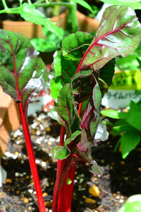 食用としてなら、ほうれん草の使い方と同じ感じで利用できます。また、若い葉をベビーリーフとして、サラダなどにも利用できます。  育てすぎると葉っぱが硬くアクも強くなるので、外葉からどんどん収穫することをおすすめします。