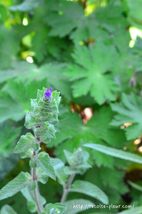 ペインテッドセージは、まずはじめに花が開花する前に苞の頂点の部分が色づき始めます。その後徐々に頂点から下に向かって色がついてきたころ、苞の下に位置する花が開花します。名前の通りペンキで塗ったように色づいていくので、若い苗か種から育てると、この不思議な経過を見ることができます。