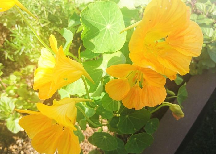 ナスタチウム 今回付け合わせに使用したオレンジ色のお花は、オフィスのテラスで摘んできたナスタチウムです。花も葉も実も食用になります。花色は、オレンジや黄色や赤があり、「食べられるお花」エディブルフラワーとして人気のお花です。
