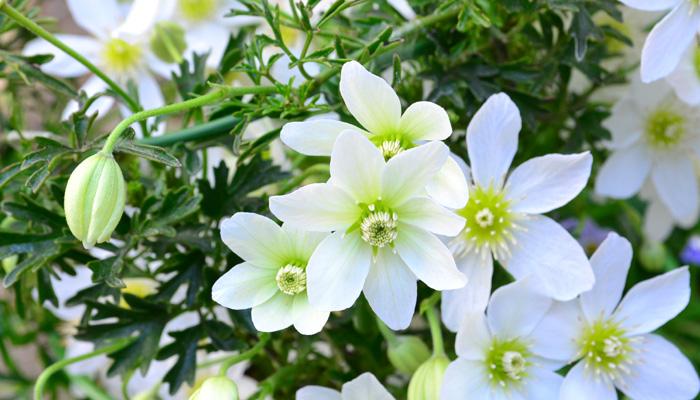 花がら摘み たくさん咲かせるためには大切な作業、花がら摘みはまめに行いましょう。植物は終わった花をそのままにしておくと種をつける方にエネルギーが回るので、花数が少なくなってしまったり株が弱ってしまいます。  切り戻し 梅雨の間から真夏に入る前までに株を全体的に切り戻すと、真夏にエネルギーを温存して秋に再び返り咲きます。夏の間伸ばしっぱなしにしていると、蒸れて枯れてしまうこともあるので風通しを良くする意味もあります。ただし、切り戻しをしない方がいい草花もあるので事前に調べてから作業に入りましょう。  開花中の肥料とお礼肥え 特に限られた土で育てている鉢植えの草花は、それぞれの草花にあった頻度で追肥しましょう。草花によって肥料を欲しがる草花、逆に少なめの肥料の方がいい草花があるので、プランツタグなどに書いてある肥料の頻度を確認します。  宿根草(多年草)はシーズン最後に来年綺麗な花を咲かせてくれるようお礼肥えを与えましょう。  シーズン最後に適切な剪定をしましょう 最後の開花が終わったら地際で切り戻すなど、適切な剪定をして冬を迎えましょう。それぞれお住いの地域によって冬の気温が違うので、同じ植物でも冬越しの仕方が変わってくる場合があります。