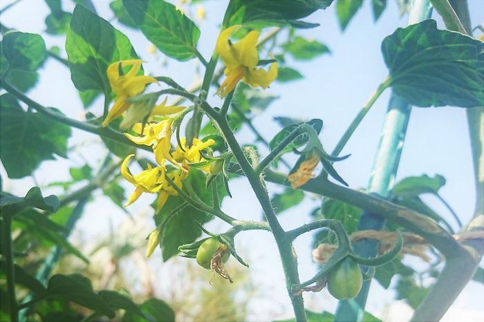 オフィスのテラスにあるトマトの鉢植えです。お花が咲いていました。トマトはこんなに可愛いお花が咲くんですよ。  トマト 学名:Lycopersicum esculentum  科名:ナス科  分類:多年草  今では一年中出回っていますが、旬は夏の野菜です。酸味と甘みが特徴的で、品種によってそれぞれ違いがあります。加熱をしないと食べられない種類もありますので、購入時に確認してください。