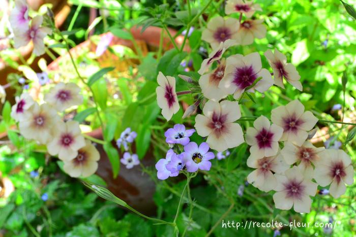 今年は種から育ててみました。この品種は同じ株から咲く花、咲く花、少しずつ違う色合いのものが咲くので、育てていて楽しい品種です。