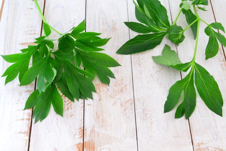 ハイブリッドシャクヤクの葉っぱは、牡丹の葉っぱの形と似てギザギザ。
