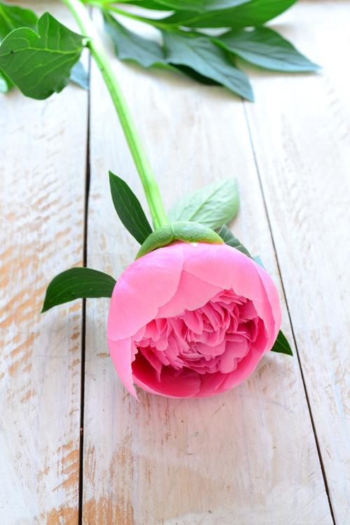 開き始めの、まだまだ小さなサイズのシャクヤク・エッジドサーモン。たくさんの花びらがある八重咲き。色はまだつぼみの時とさほど変化はありません。