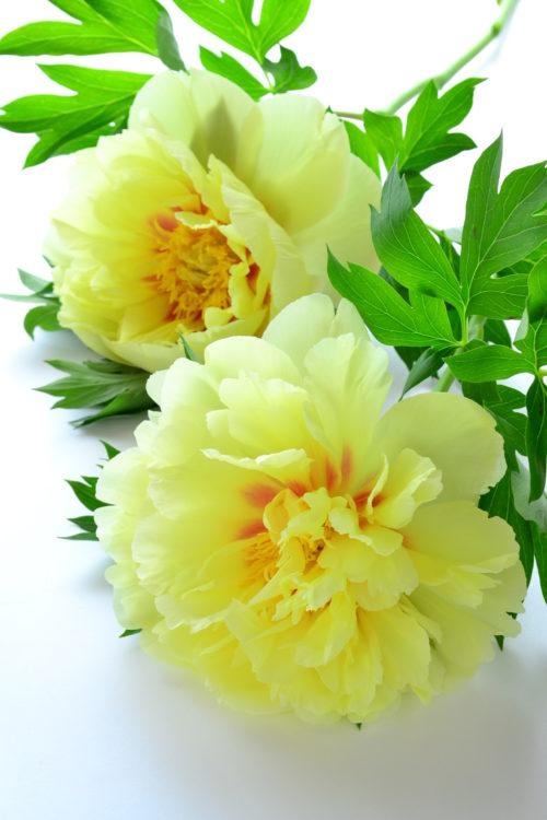 シャクヤクは初夏ならではの花材。花屋さんで黄色やアプリコット色のシャクヤクを見かけたら、ハイブリッドシャクヤクかもしれません。シャクヤクと見分ける際の参考にしてみてください。