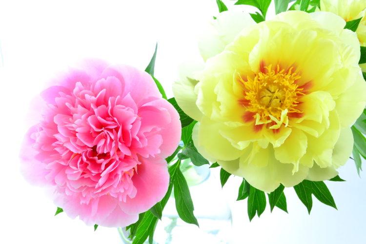 シャクヤクでもハイブリッドシャクヤクでも、花の扱い方に違いはありません。シャクヤクの扱い方をご紹介します。